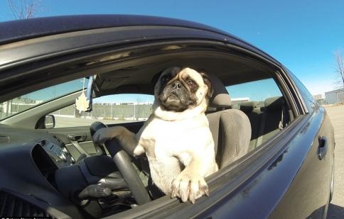 Chú chó thông minh lái xe như người gây sửng sốt