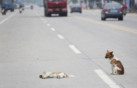 Tư vấn: Ô tô gây tai nạn cho vật nuôi có bị bắt bồi thường không ?