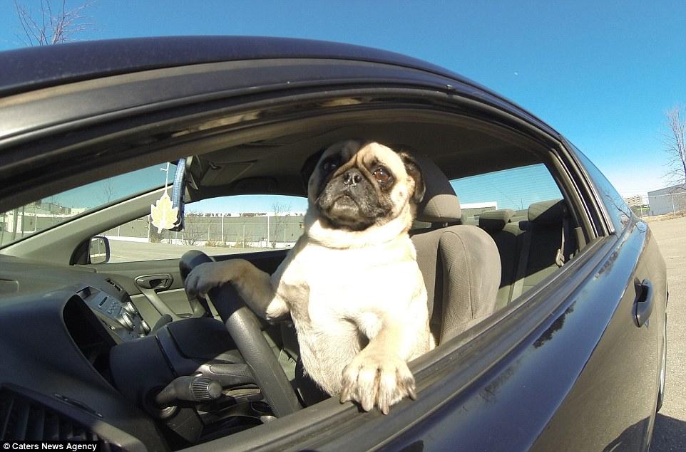 Kết quả hình ảnh cho chó lái xẻ
